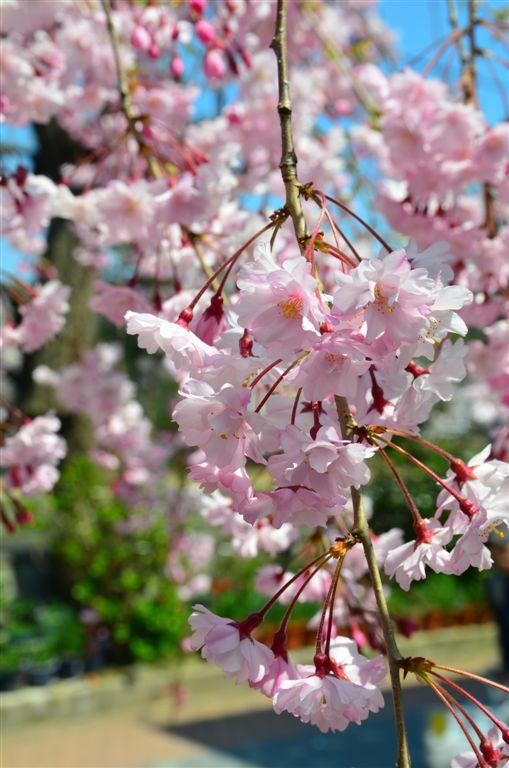 2014桜 (3)