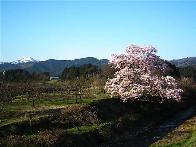 2014桜 (5)