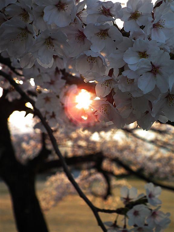 2014桜 (7)