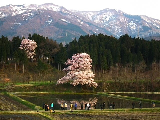 2014桜 (8)