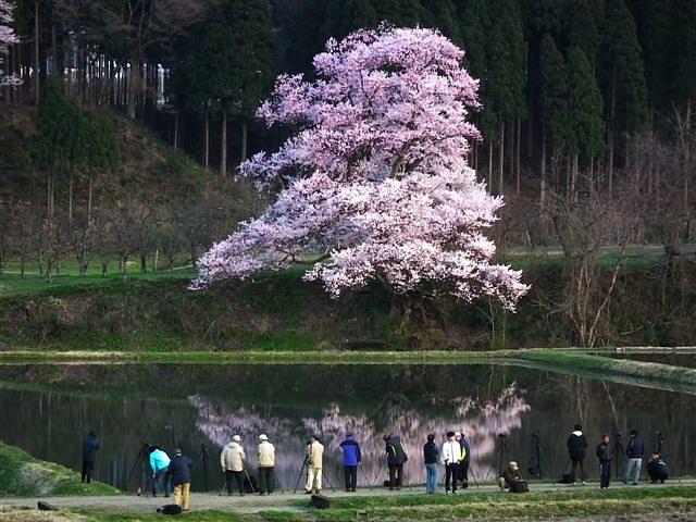 2014桜 (9)