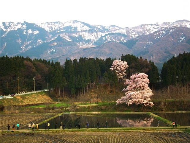 2014桜 (10)