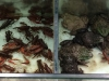0524_カエルとアメリカザリガニ