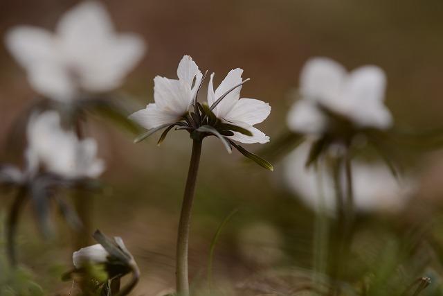 河合の節分草9