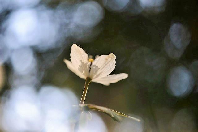 河合の節分草14