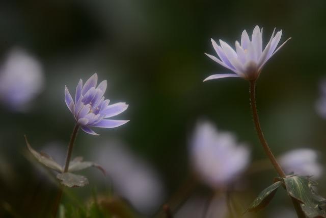 牟佐のユキワリイチゲ1