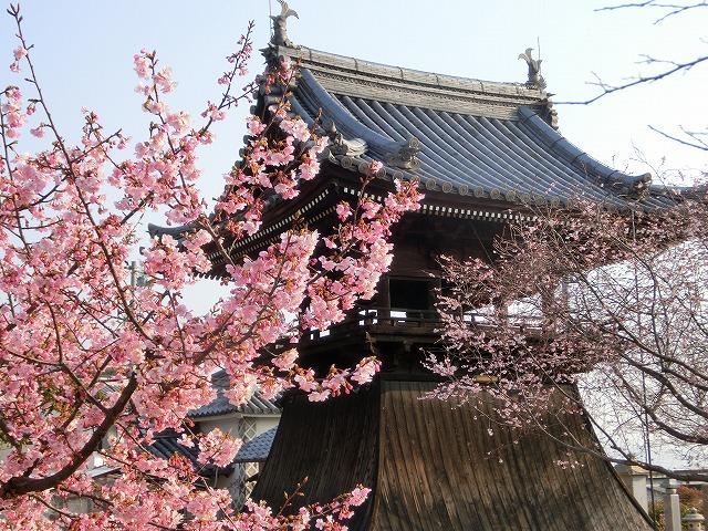 妙林寺の河津桜5