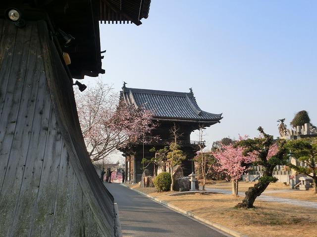 妙林寺の河津桜7
