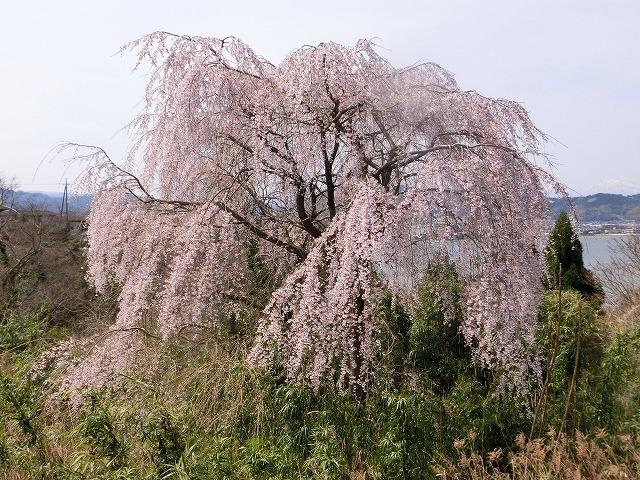 名もない枝垂れ桜