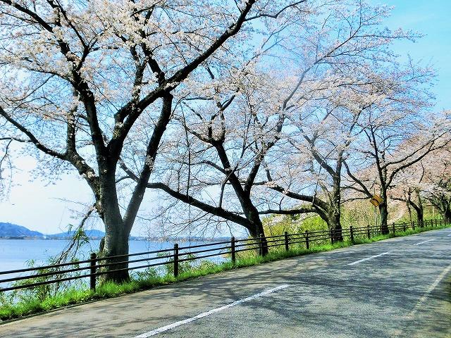東郷湖にある羽合温泉と裏大山を望む桜3
