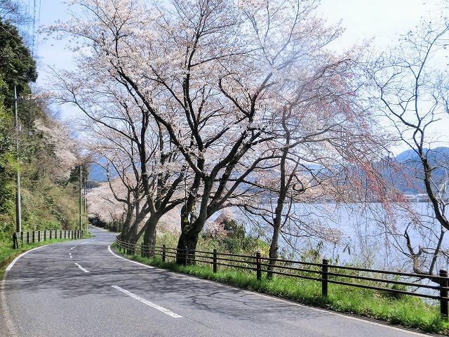 東郷湖にある羽合温泉と裏大山を望む桜4