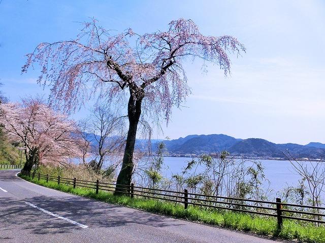 東郷湖にある羽合温泉と裏大山を望む枝垂れ桜1