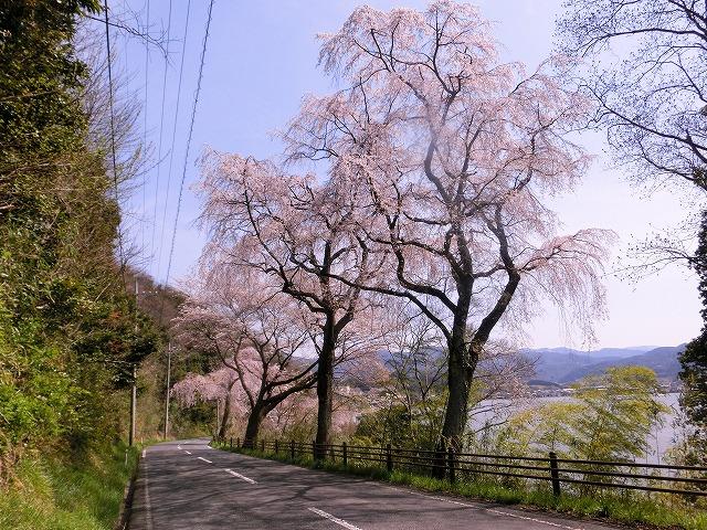 東郷湖にある羽合温泉と裏大山を望むしだれ桜2