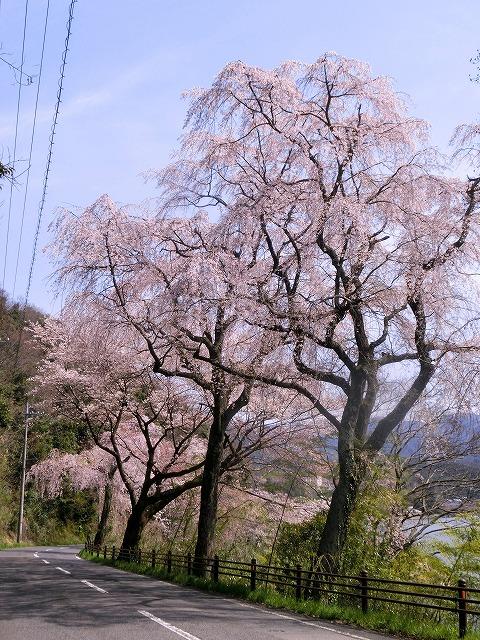 東郷湖にある羽合温泉と裏大山を望む枝垂れ桜2-2