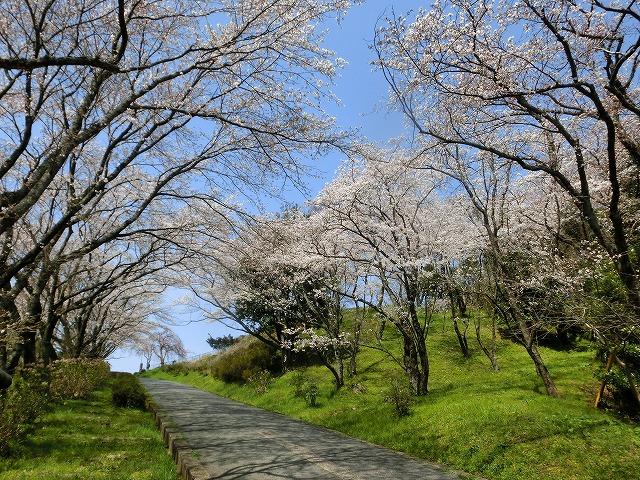 さくら工芸工房入口の桜1