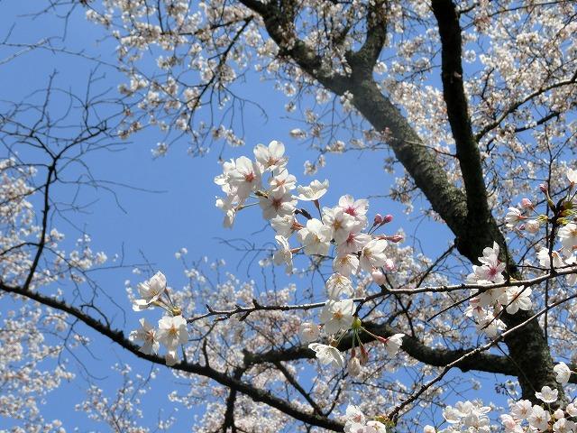 さくら工芸工房入口の桜2