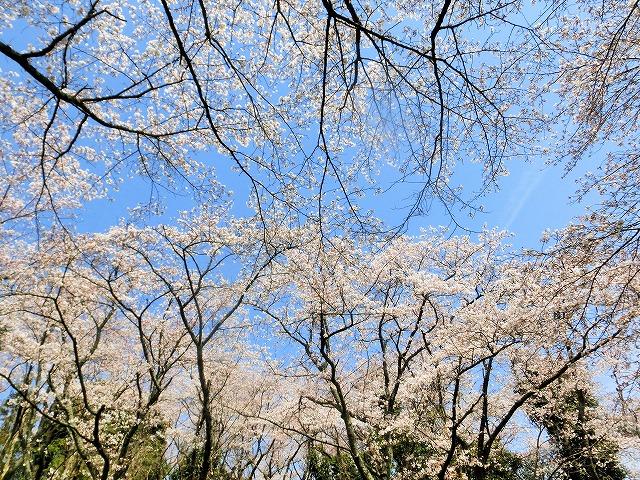 さくら工芸工房入口の桜4