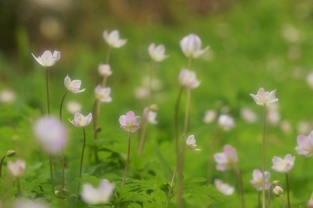 ニリン草7