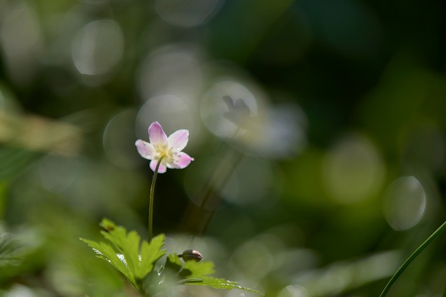ニリン草9