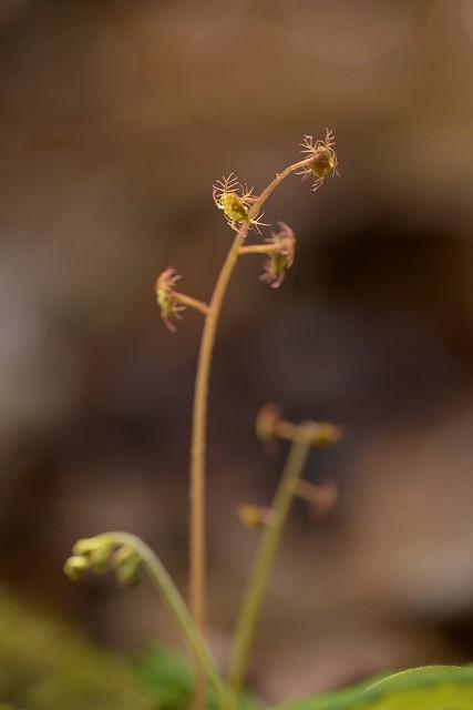 チャルメル草1