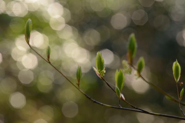 木の芽ぶき1