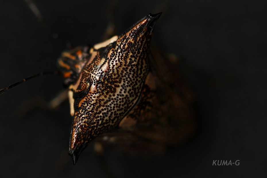 Alcimocoris japonensis