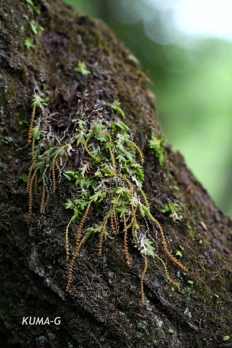 Oberonia japonica (Maxim.) Makino
