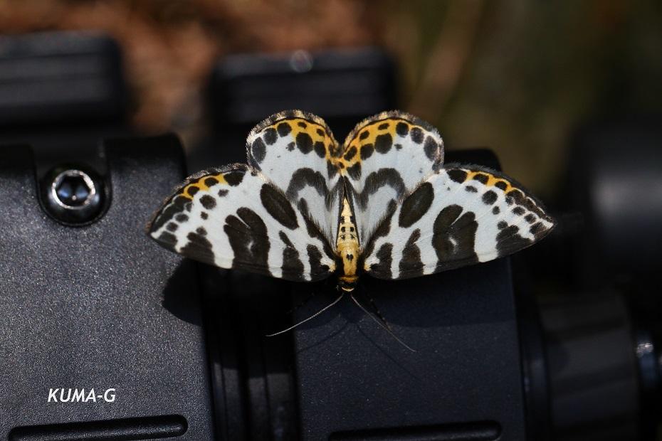 ツマキシロナミシャク本州以南亜種 Gandaritis whitelyi leechi