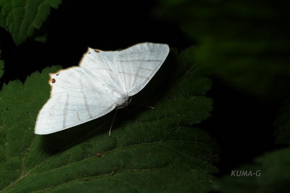 シロツバメエダシャク Ourapteryx maculicaudaria