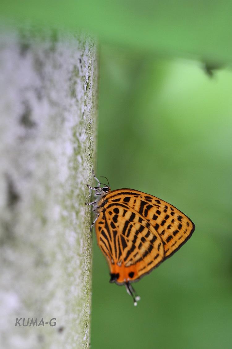 ウラナミアカシジミJaponica saepestriata