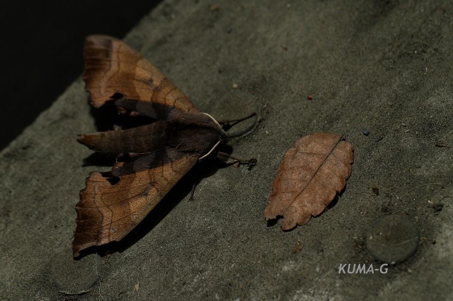Marumba gaschkewitschii echephron モモスズメ