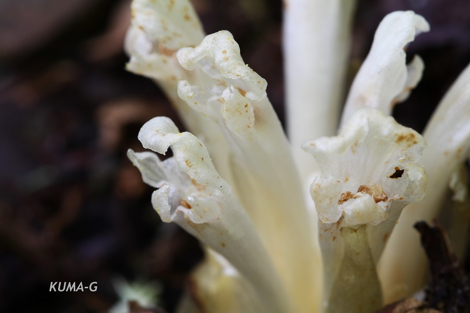 Phacellanthus tubiflorus