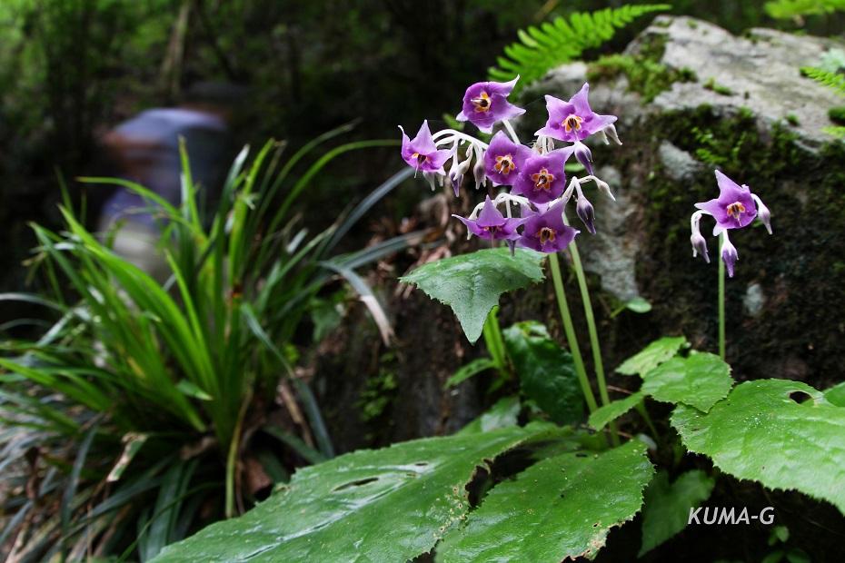 Conandron ramondioides
