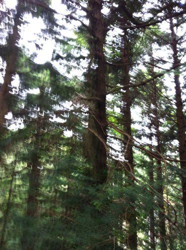 お化けの木2