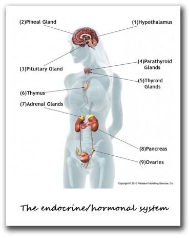 ホルモンシステムの体内図
