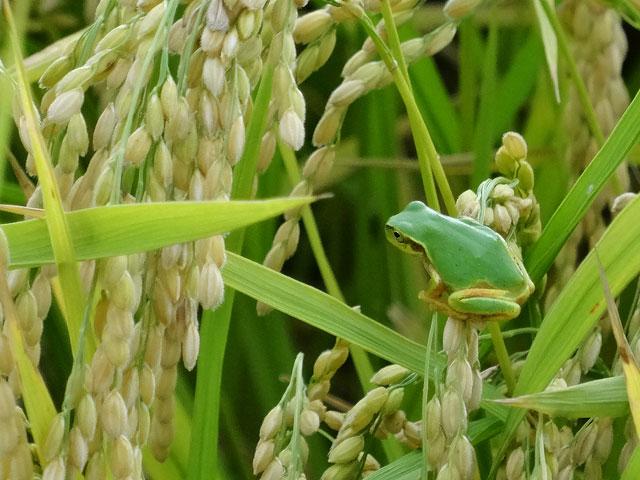 稲穂の上のカエル1