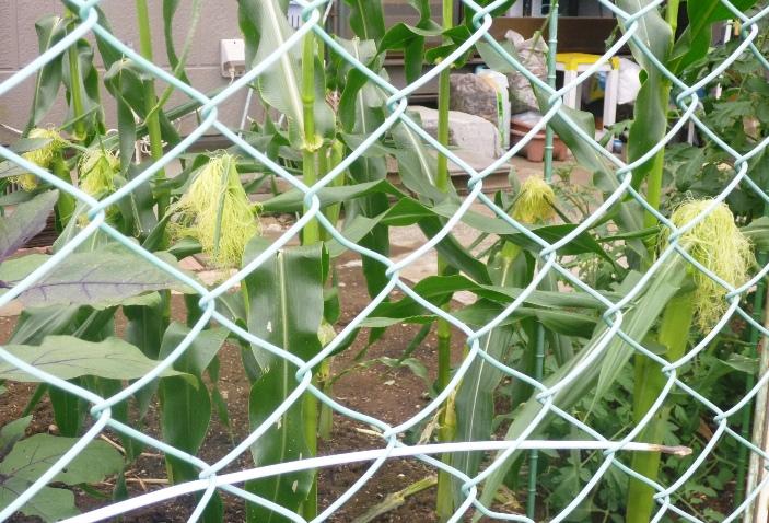 トウモロコシ成長中