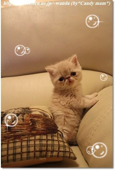 エキゾチック 仔猫写真