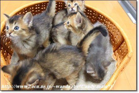 ソマリ 仔猫写真