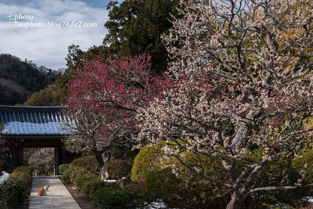 2014-02-22_鎌倉梅_1221_edited-1