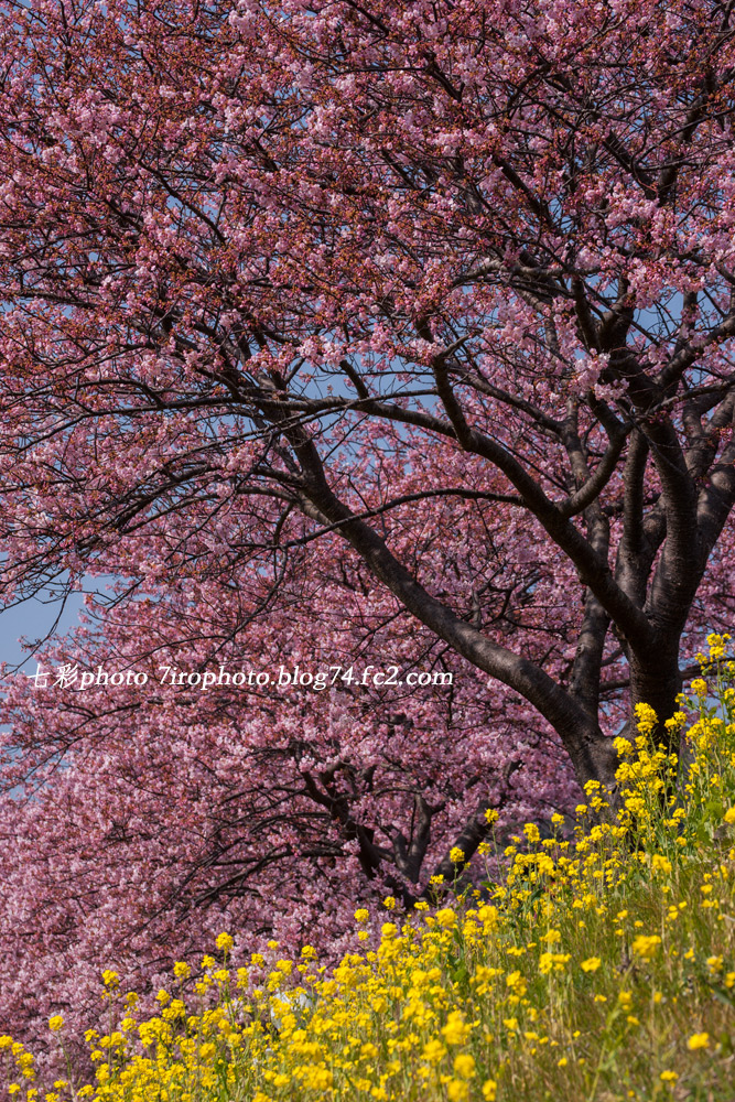 2014-02-25_河津桜_1339
