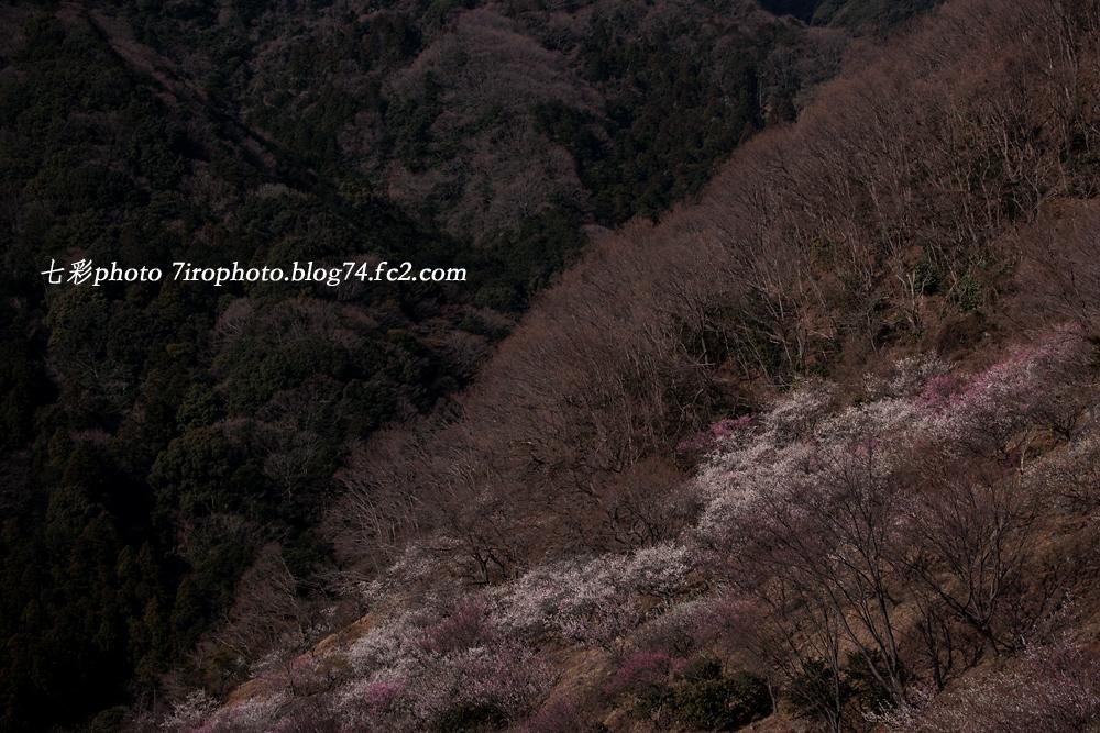 2014-03-08_湯河原梅林_1476