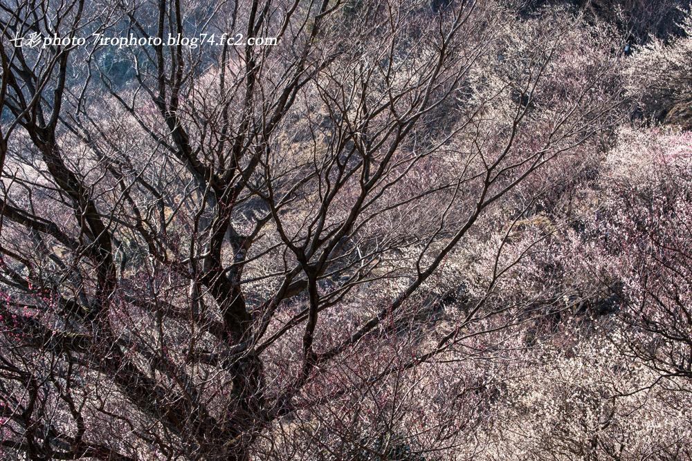 2014-03-08_湯河原梅林_1547