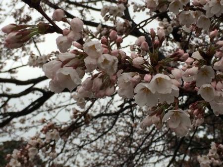 2014-04-04開花