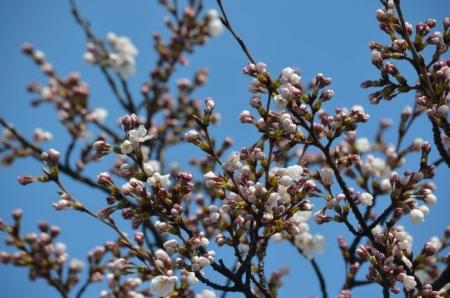 文化ホール桜