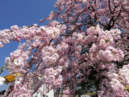 2014-04-15ヤエベニシダレ