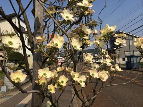 2014-04-27アカシア通りのハナミズキ
