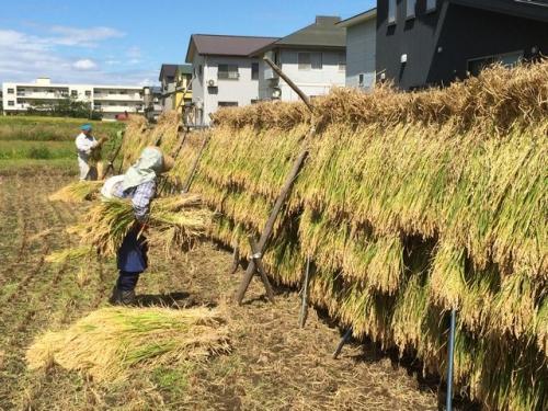 2014-09-12稲刈り