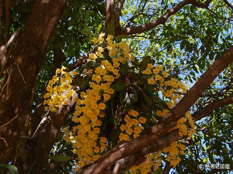 マンゴーの木の又で茂る木陰のクリソトキサム