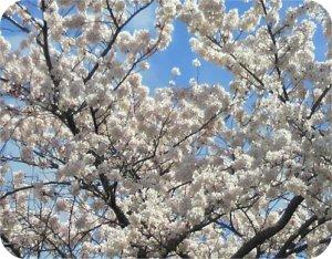 4-3の桜